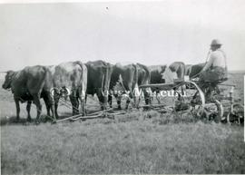 Seven Ox Team Pulling A Sulky Plough