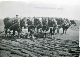 Seven Ox Team Breaking Sod with a Sulky Plough